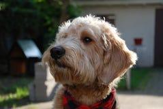Blonder Hund mit rotem Bandana Stockbild