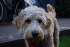 Blonder Hund mit rotem Bandana Stockfotos