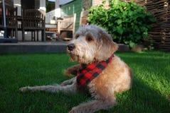 Blonder Hund mit rotem Bandana Lizenzfreie Stockfotografie