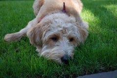 Blonder Hund mit rotem Bandana Lizenzfreie Stockbilder