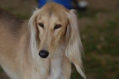 Blonder Hund Saluki Sighthound Stockbild