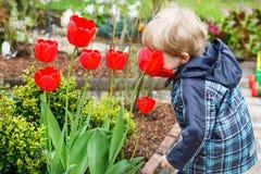 Blonder kaukasischer Kleinkindjunge mit großen Tulpen Stockfoto