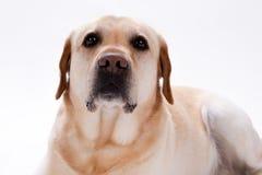 Blonder labrador retriever-Hund, Abschluss herauf Porträt Lizenzfreie Stockfotografie