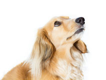 Blonder Miniaturdachshund, der oben schaut Lizenzfreie Stockbilder