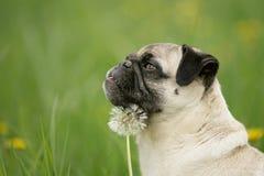 Blonder Pug mit Blume Lizenzfreie Stockbilder