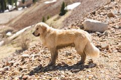Blonder Retriever-Hund in Moutains Stockfotografie