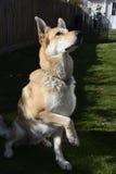 Blonder Schäferhund Dog Stockbild