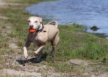 Blonder Schutz-Hund, der mit Ball läuft Lizenzfreie Stockbilder