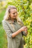 Blonder Weinbauer, der die Trauben erntet Lizenzfreies Stockfoto