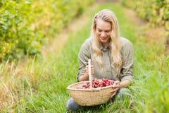 Blonder Weinbauer, der einen Korb der roten Trauben betrachtet Stockfoto