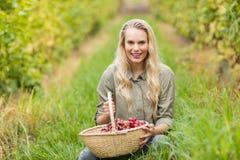 Blonder Weinbauer, der einen Korb der roten Trauben hält Stockbilder