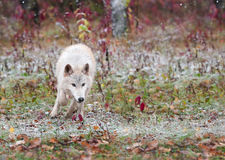 Blonder Wolf Bounds Through Early Snowfall Lizenzfreie Stockbilder