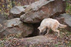 Blonder Wolf (Canis Lupus) überprüft heraus Höhle Stockfoto