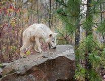 Blonder Wolf (Canis Lupus) auf Felsen Lizenzfreies Stockfoto