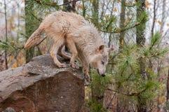 Blonder Wolf (Canis Lupus) bereiten vor sich, weg vom Felsen zu springen Lizenzfreies Stockfoto