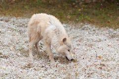 Blonder Wolf (Canis Lupus) in den Licht-frühen Schneefällen Stockbild