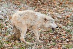 Blonder Wolf (Canis Lupus) in der gefügigen Lage Stockbild