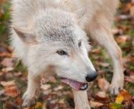 Blonder Wolf (Canis Lupus) kaut auf Fleisch-Snack Lizenzfreies Stockfoto