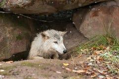 Blonder Wolf (Canis Lupus) klettert aus Höhle heraus Stockfoto