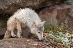 Blonder Wolf (Canis Lupus) klettert aus Höhle heraus Lizenzfreie Stockbilder