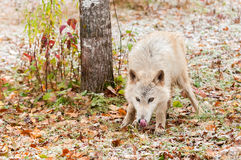 Blonder Wolf (Canis Lupus) leckt Nase Lizenzfreie Stockfotografie