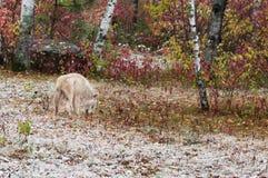 Blonder Wolf (Canis Lupus) mischt in Umwelt Lizenzfreie Stockfotos