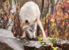 Blonder Wolf (Canis Lupus) schnüffelt auf Felsen Stockfotografie