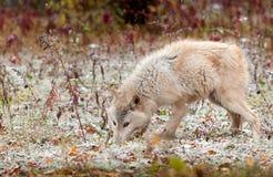 Blonder Wolf (Canis Lupus) schnüffelt Boden in den hellen Schneefällen Lizenzfreie Stockbilder