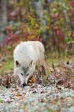 Blonder Wolf (Canis Lupus) schnüffelt im Schnee Lizenzfreie Stockfotos