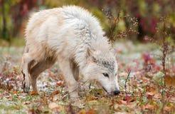 Blonder Wolf (Canis Lupus) schnüffelt rechts Lizenzfreie Stockfotos