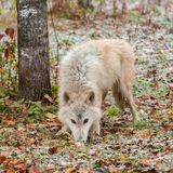 Blonder Wolf (Canis Lupus) schnüffelt in Schnee bedeckten Blättern Lizenzfreies Stockfoto