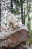 Blonder Wolf (Canis Lupus) schnüffelt ungefähr auf Felsen Stockfotos