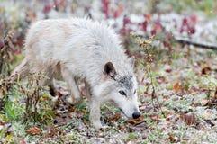 Blonder Wolf (Canis Lupus) trottet durch helle Schneefälle Stockbilder