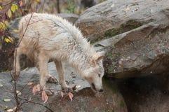Blonder Wolf Climbs About auf Felsen Lizenzfreies Stockfoto