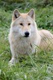 Blonder Wolf, der in Gras legt Lizenzfreie Stockfotografie
