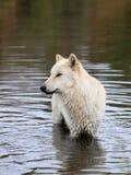 Blonder Wolf, der im Wasser steht Lizenzfreie Stockfotos