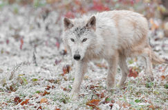 Blonder Wolf Moves About in fallendem Schnee Stockfotografie