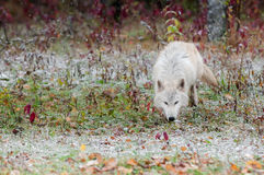 Blonder Wolf Trots Along in den frühen Schneefällen Stockfotos