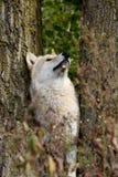 Blonder Wolf zwischen den Bäumen, die oben schauen Lizenzfreie Stockbilder