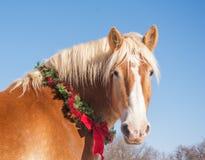 Blondes belgisches Entwurfspferd, das den Zuschauer, einen Weihnachtskranz tragend betrachtet Lizenzfreies Stockfoto