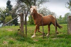 Blondes belgisches Entwurfspferd, das im Frühjahr Weide galoppiert Lizenzfreie Stockbilder