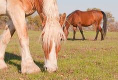 Blondes belgisches weiden lassendes Entwurfspferd Stockbilder