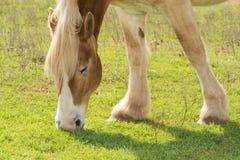 Blondes belgisches weiden lassendes Entwurfspferd Stockfotos