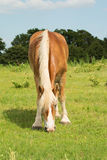 Blondes belgisches weiden lassendes Entwurfspferd Lizenzfreie Stockfotografie