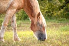 Blondes belgisches weiden lassendes Entwurfspferd Lizenzfreies Stockbild