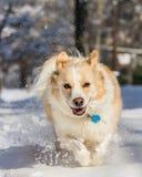 Blondes Border collie im Schnee Lizenzfreies Stockfoto