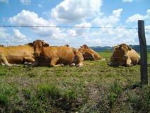 Blondes d'Aquitaine Stockfoto