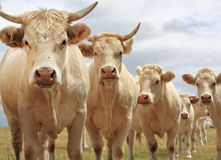 Blondes d'Aquitaine cows Stock Images