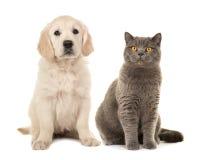 Blondes golden retriever-Hündchen und graue britische Katze des kurzen Haares Stockbild
