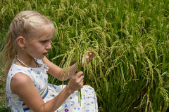 Blondes kleines Mädchen von den Ährchen in der Hand auf dem Reisfeld Stockfotografie